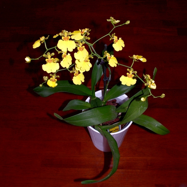 Oncidium - 01a - Sweet Sugar